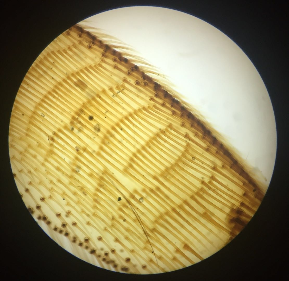 Hindlegs of the honey bee W.M #1 - 40x magnification
