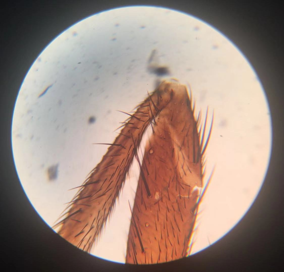 Housefly Legs 100x