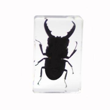 saxon Resin Preserved Insect - Beetle Specimen - SKU# 310212