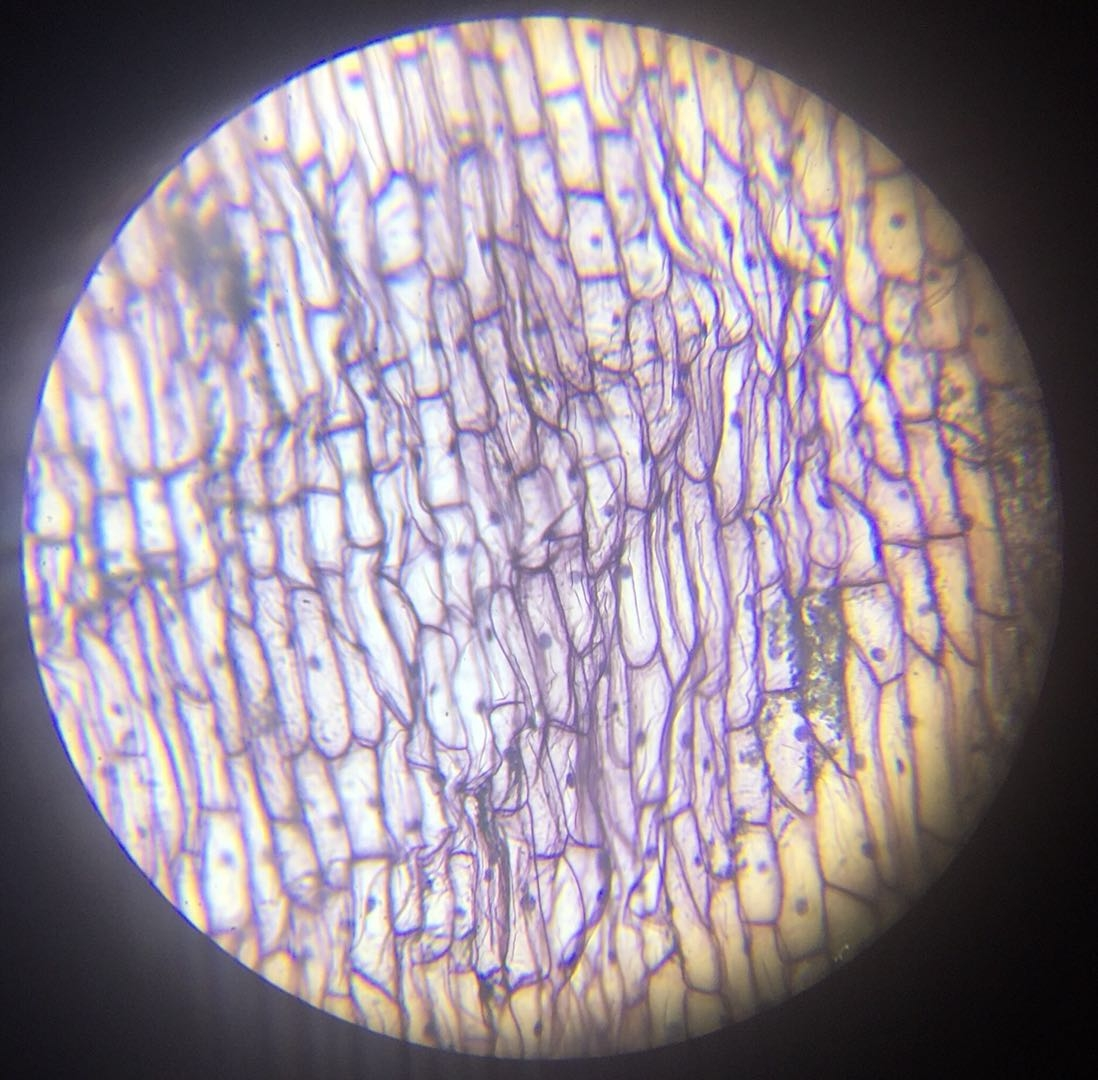 Epidermis W.M #1 - 100x magnification