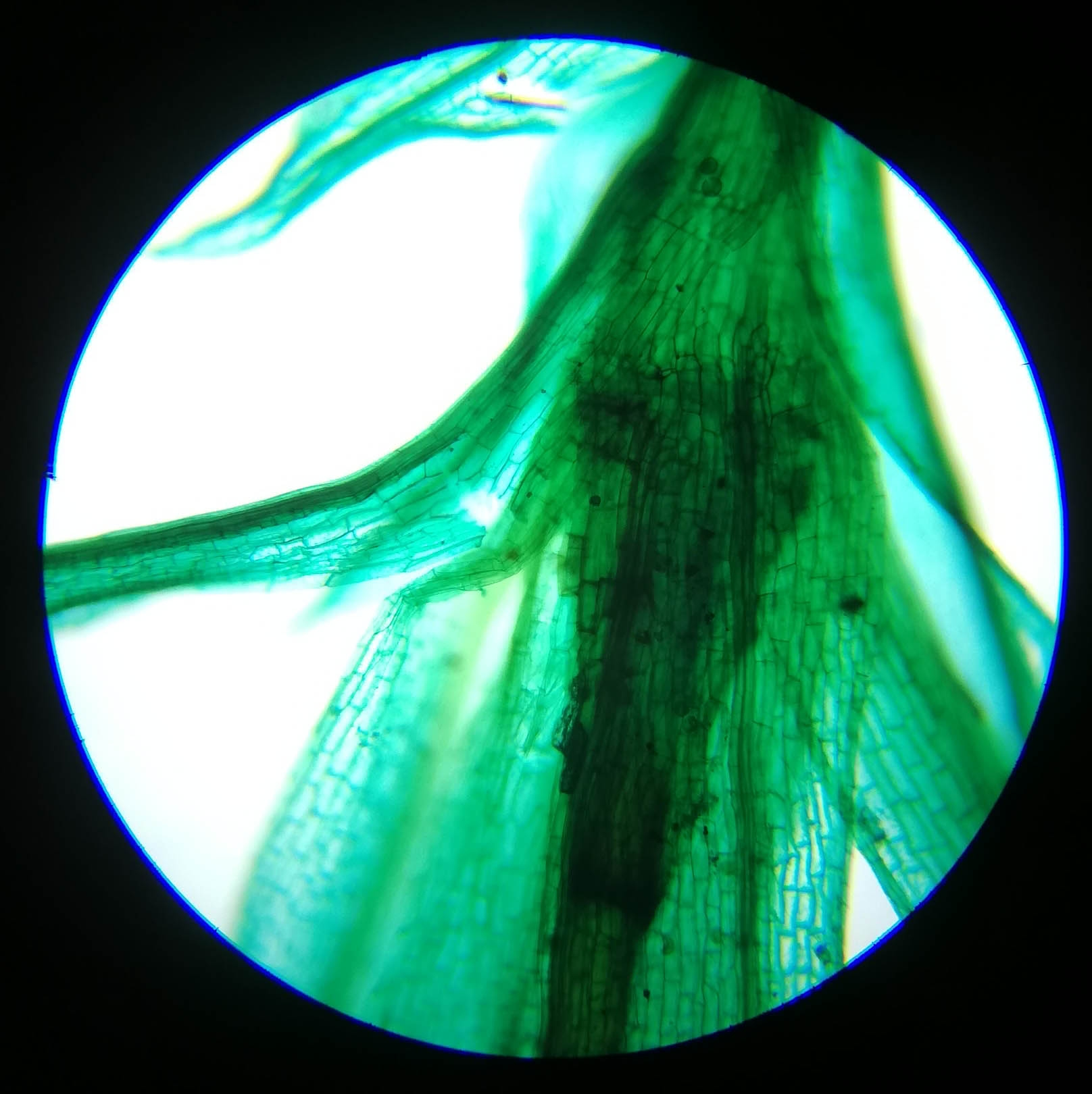 Fern Young Sporophyte W.M #1 - 100x magnification