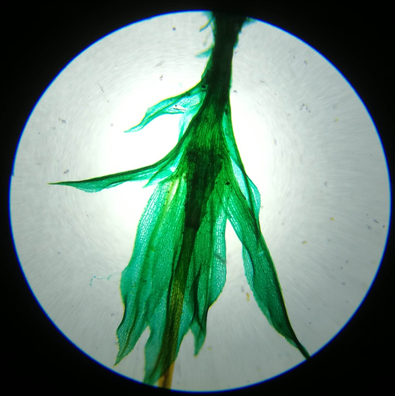 Fern Young Sporophyte W.M #1 - 40x magnification