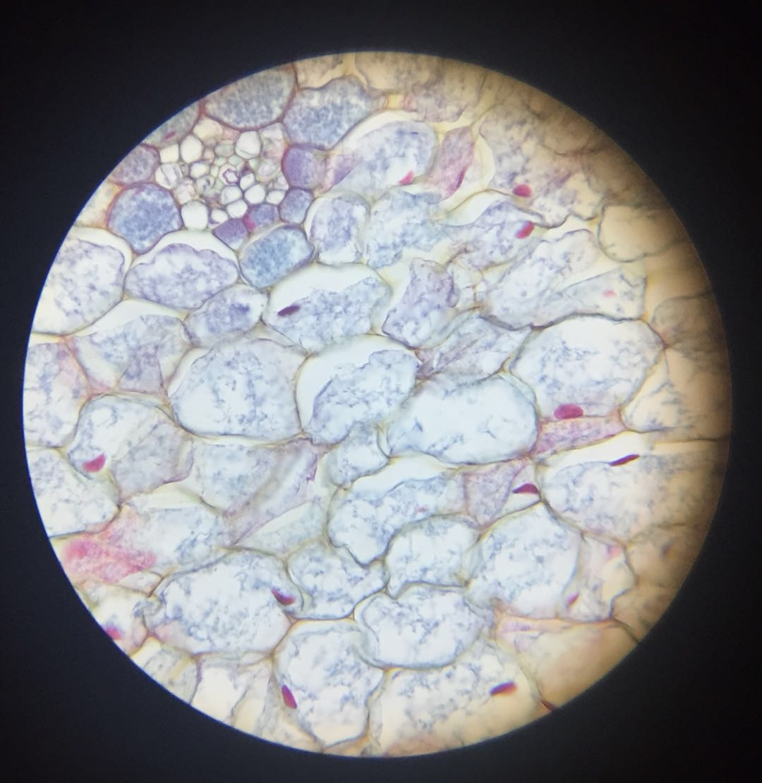 Garlic Skin - 400x magnification